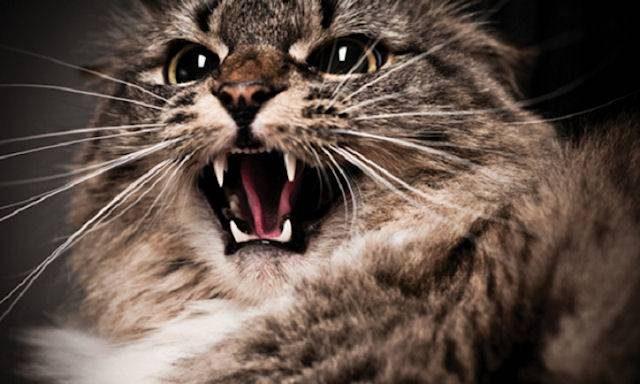 Агрессия среди кошек