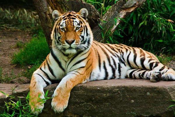 Амурский тигр самая большая кошка России
