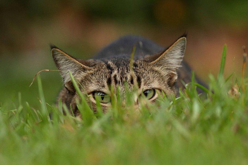 Почему домашняя кошка охотится