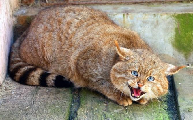 китайская серая кошка