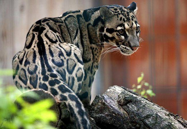 dymchatyj-leopard